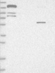 NBP1-89601 - Cingulin