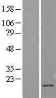 NBL1-09235 - Claudin 1 Lysate