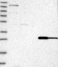 NBP1-87450 - Claudin-12 / CLDN12