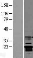 NBL1-09239 - Claudin 14 Lysate