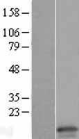 NBL1-09240 - Claudin 15 Lysate
