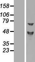 NBL1-09241 - Claudin-16 Lysate