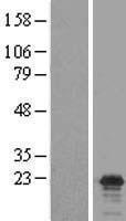 NBL1-09242 - Claudin 17 Lysate