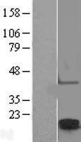 NBL1-09243 - Claudin 2 Lysate