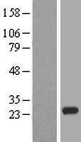 NBL1-09244 - CLDN20 Lysate