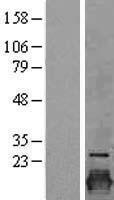 NBL1-09245 - Claudin 3 Lysate