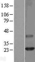 NBL1-09248 - Claudin 6 Lysate