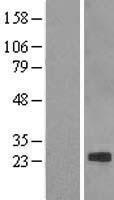 NBL1-09249 - Claudin 7 Lysate