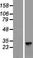 NBL1-09250 - Claudin 8 Lysate