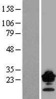 NBL1-09251 - Claudin 9 Lysate