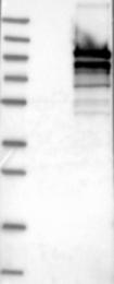 NBP1-88216 - CALCOCO1