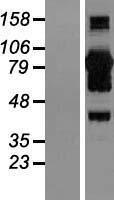 NBL1-08645 - CoCoA Lysate