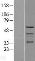 NBL1-07646 - Coatomer Subunit Delta Lysate