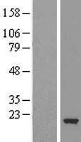 NBL1-09127 - Cofilin-2 Lysate