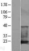 NBL1-09126 - Cofilin Lysate