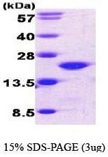 NBC1-18535 - Cofilin-1