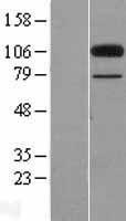 NBL1-09363 - Colec12 Lysate