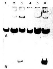 NBP1-05118 - Collagen type V