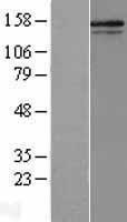 NBL1-09355 - Collagen V alpha 2 Lysate