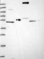 NBP1-91800 - Collagen type XVII alpha 1 chain