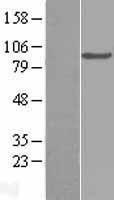 NBL1-08352 - C2 Lysate