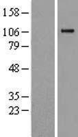 NBL1-08499 - C6 Lysate