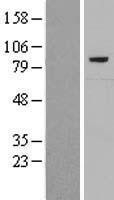 NBL1-08541 - C7 Lysate