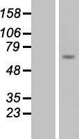 NBL1-08577 - C9 Lysate