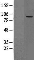 NBL1-09119 - Complement Factor B Lysate