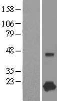 NBL1-09435 - Complexin-1 Lysate
