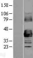 NBL1-11086 - Connexin 43 / GJA1 Lysate