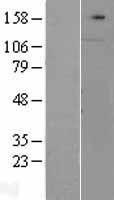 NBL1-09333 - Contactin 1 Lysate