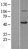 NBL1-09398 - Coronin 3 Lysate