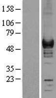 NBL1-09395 - Coronin-1a Lysate