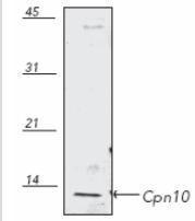 NB110-11473 - HSP10