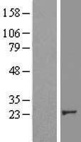 NBL1-09484 - CRK Lysate