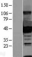 NBL1-09563 - CtBP1 Lysate
