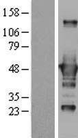 NBL1-09564 - CtBP1 Lysate