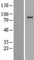 NBL1-09606 - Cullin 1 Lysate