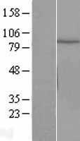 NBL1-09607 - Cullin 2 Lysate