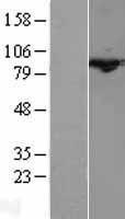 NBL1-09608 - Cullin 3 Lysate