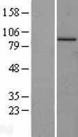 NBL1-09609 - Cullin 4a Lysate