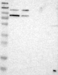 NBP1-86868 - Cullin-5