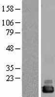 NBL1-09613 - CutA Lysate
