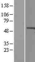 NBL1-08863 - Cyclin A1 Lysate