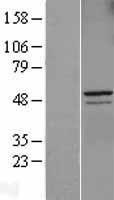 NBL1-08864 - Cyclin A2 Lysate