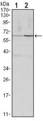 NBP1-51669 - Cyclin B1