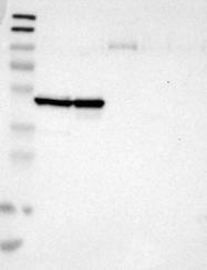NBP1-89657 - Cyclin B2