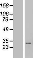 NBL1-08870 - Cyclin C Lysate