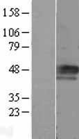 NBL1-08876 - Cyclin E Lysate